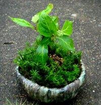 ヤマアジサイの盆栽風