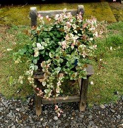 鉢植えのハツユキカズラ 2008-11-16