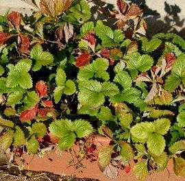 冬のワイルドストロベリー