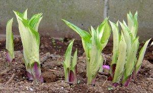 4月上旬のギボウシ(ホスタ)の芽生え