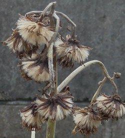ツワブキの花後の綿毛 1-19