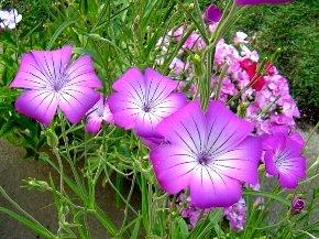 アグロステンマの花