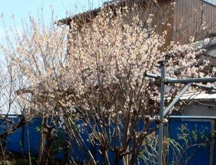 サクランボの花 3-26