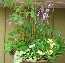 2009年のギボウシの寄せ植え8-9
