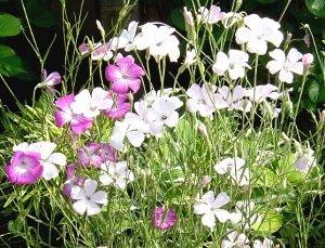 花壇のアグロステンマ  5-17
