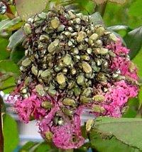 バラの花とアシナガコガネムシ
