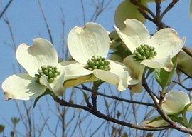 ハナミズキ(花水木 )の花  2008-4-21