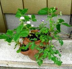 鉢植えのオダマキ 2008-5-5