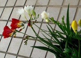 横向きのまま咲いているフリージア 5-11
