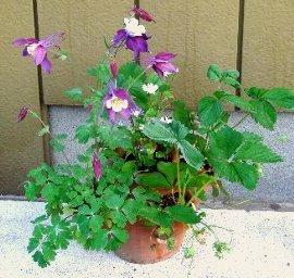 鉢植えのオダマキ 5-15