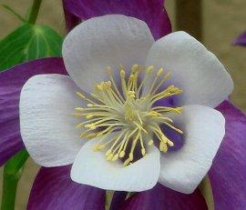 オダマキの花 5-17