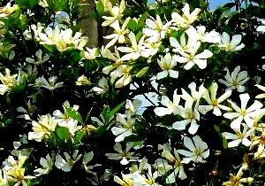 クチナシの花 6-17