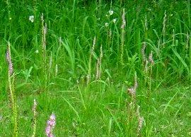 芝生のネジバナ