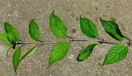 緑枝ざしの挿し穂 2007/7-5
