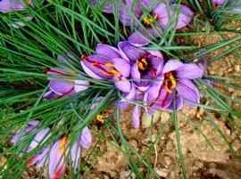 サフランの花 10-24