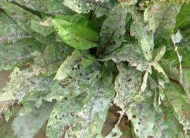 うどんこ病と虫 7-10