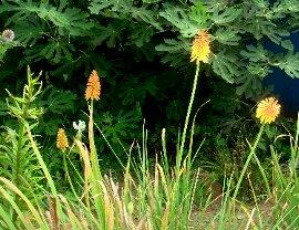トリトマの花 2008-8-10.JPG