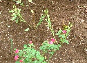 アルストロメリアの植え替え 8-26