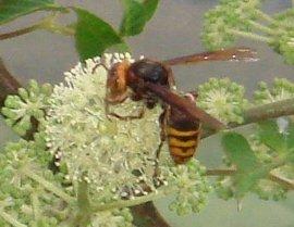 ウドの花とキイロスズメバチ 9-3
