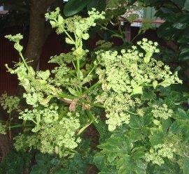 アシタバ(明日葉)の花 2008-9-3
