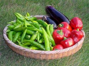 甘長トウガラシの収穫 10-2