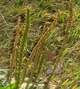 庭のオオバコの花穂 11-5