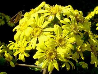 ツワブキの花 11-08