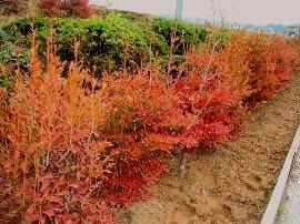 秋のドウダンツツジ