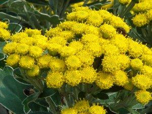 イソギク の花 11-16