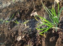 ニラを植える 11-29