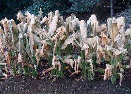 ウコンの霜害 11-29