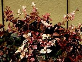我が家のハツユキカズラの紅葉