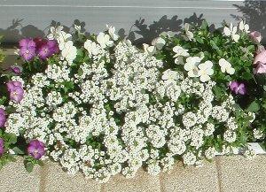 白花のスイートアリッサム