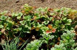 冬のワイルドストロベリー 12-10