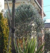オリーブの樹 12-26