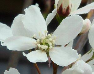 ジューンベリーの花 4-12