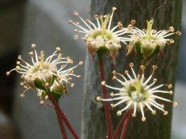 花後のジューンベリー