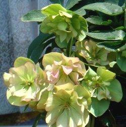 ピコティミックスダブルの花