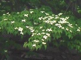 ヤマボウシの花 5-13