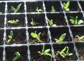 アイスプラントの植え替え