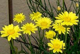 ヘリクリサム・ペーパーデージーの花