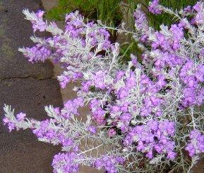 エレモフィラ・ニベアの花