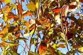 シャラノキの紅葉