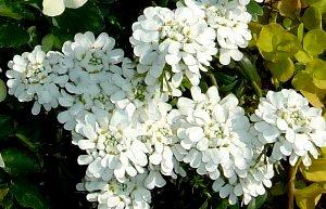 イビリスの花