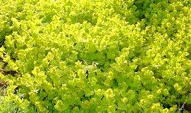 春のリシマキア ヌンムラリア・オーレア