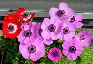 アネモネの花