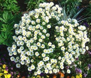 ノースポールの咲く庭