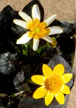 ヒメリュウキンカの花 3-15