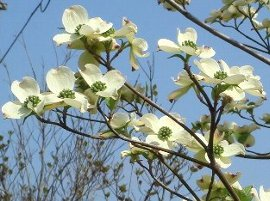 ハナミズキの花  2008-4-21
