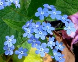 ブルンネラ・マクロフィラの花 4-21